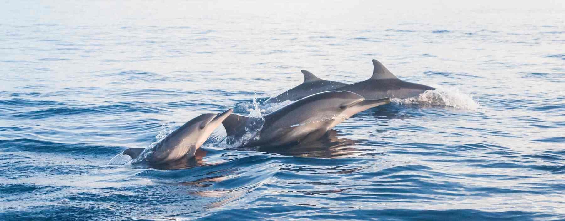 id, bali, lovina, dolphins jumping lovina beach (3).jpg