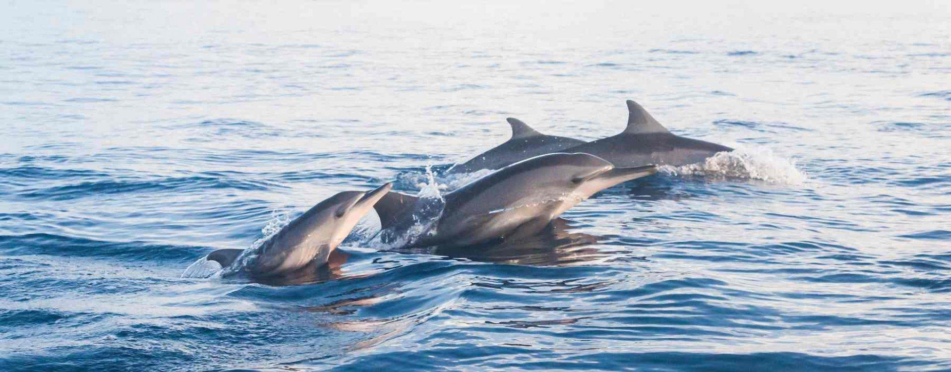Springende dolfijnen spotten bij Lovina