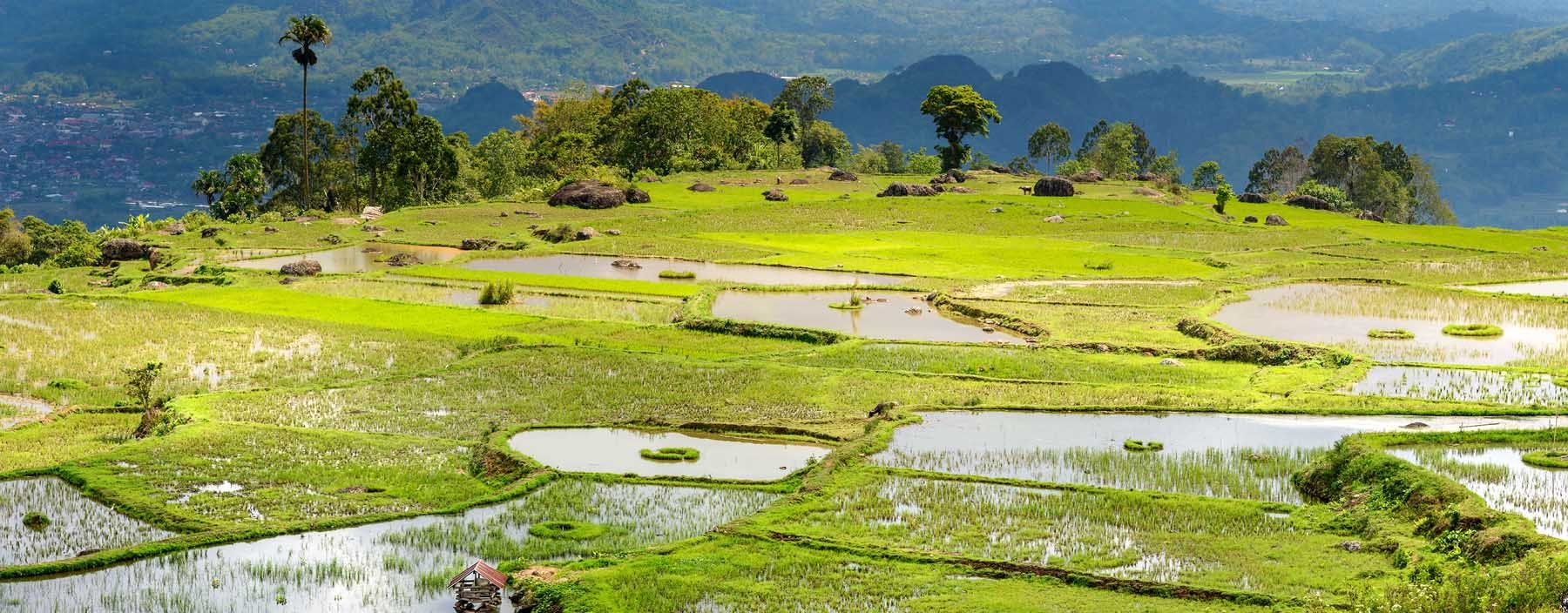 id, sulawesi, tana toraja, rice fields (3).jpg