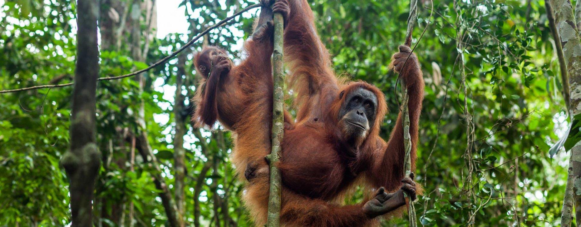 Orang-oetans, Sumatra