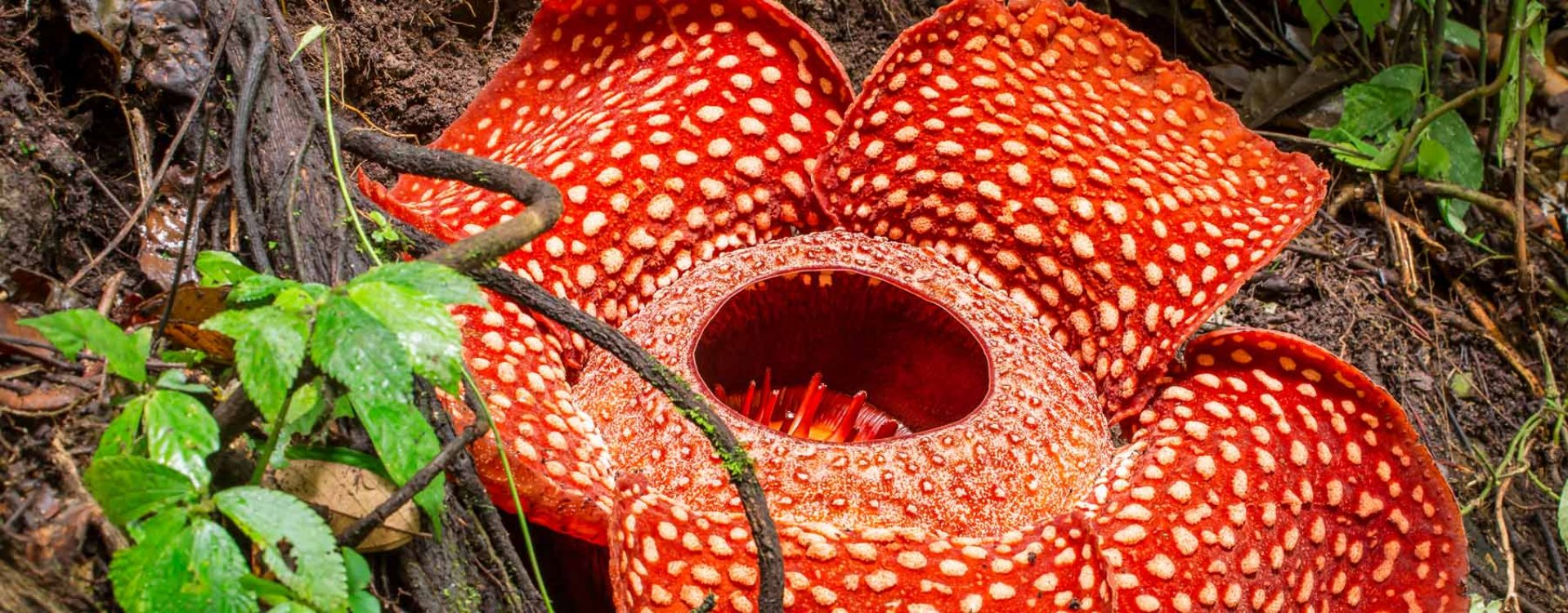 Rafflesia bloem, Sumatra