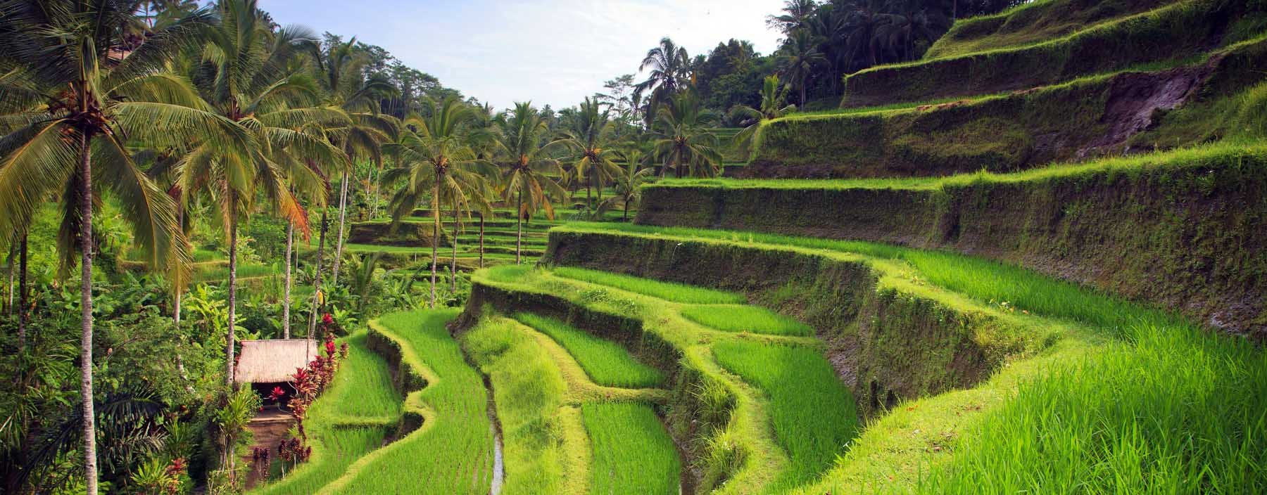 id, bali, terrace rice fields in tegallalang (2).jpg