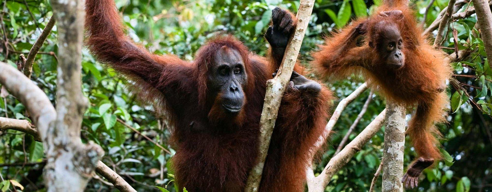 Orang-oetans, Bukit Lawang, Sumatra
