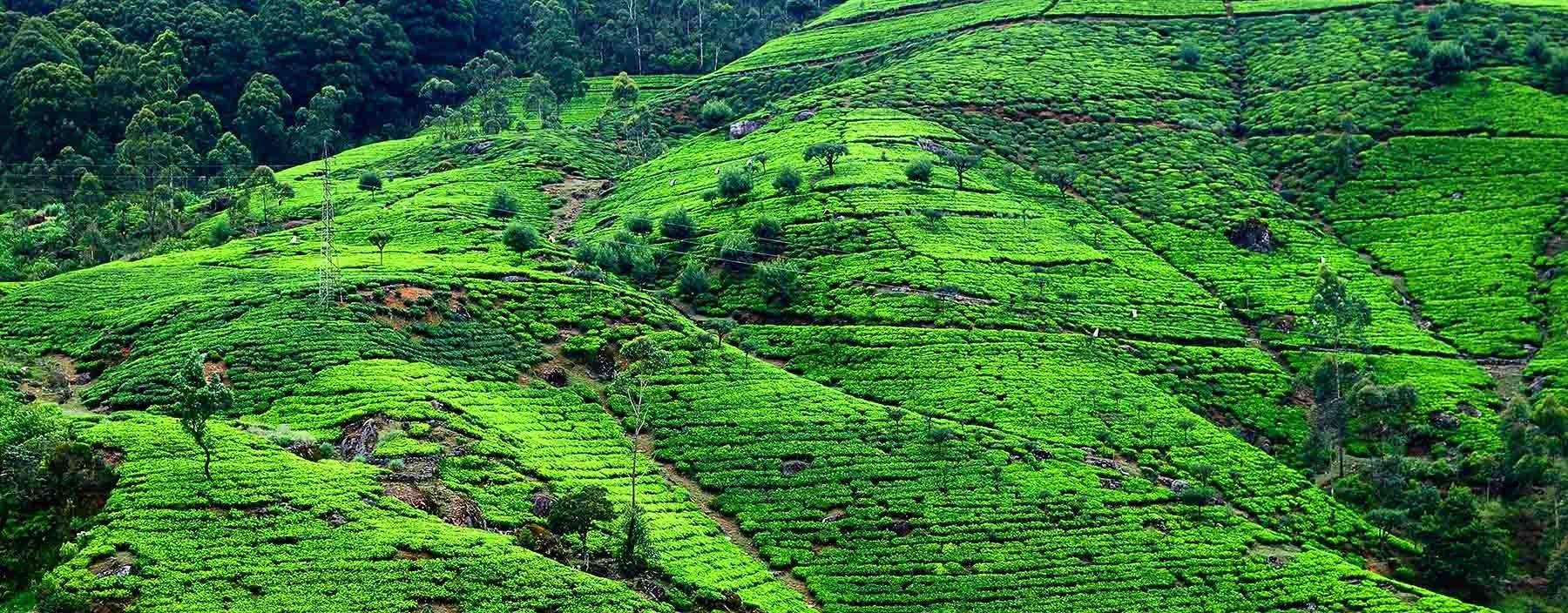 sri lanka, nuwara eliya, theeplantages (2).jpg