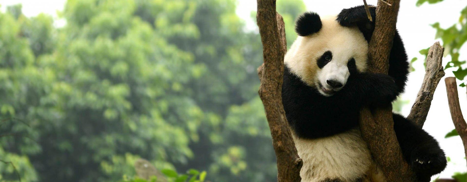 Chengdu, panda