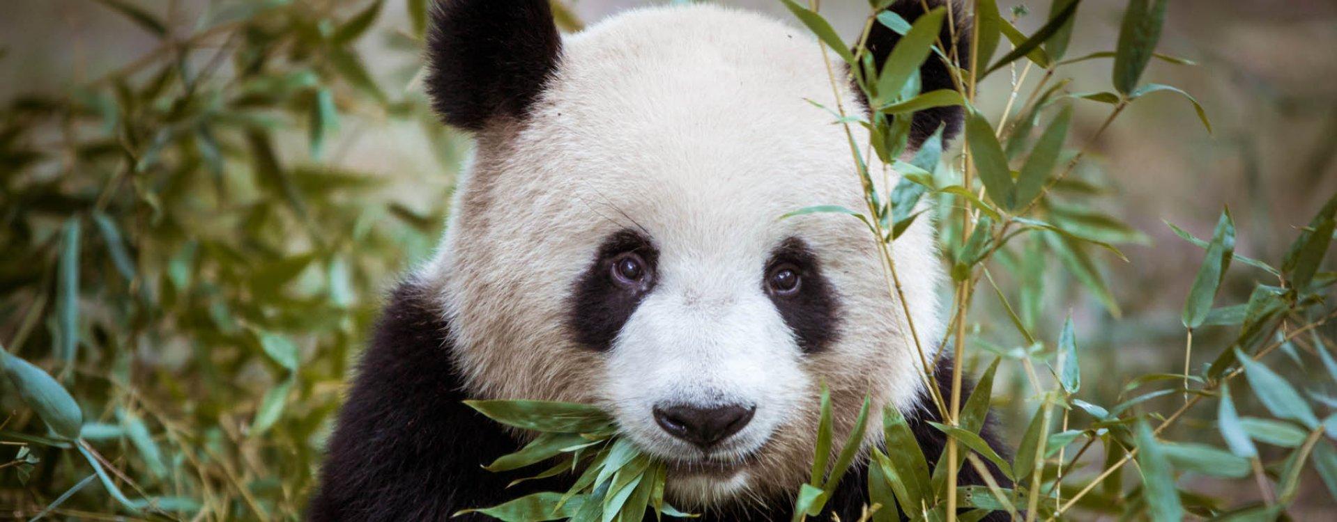 Chengdu, bezoek de panda's