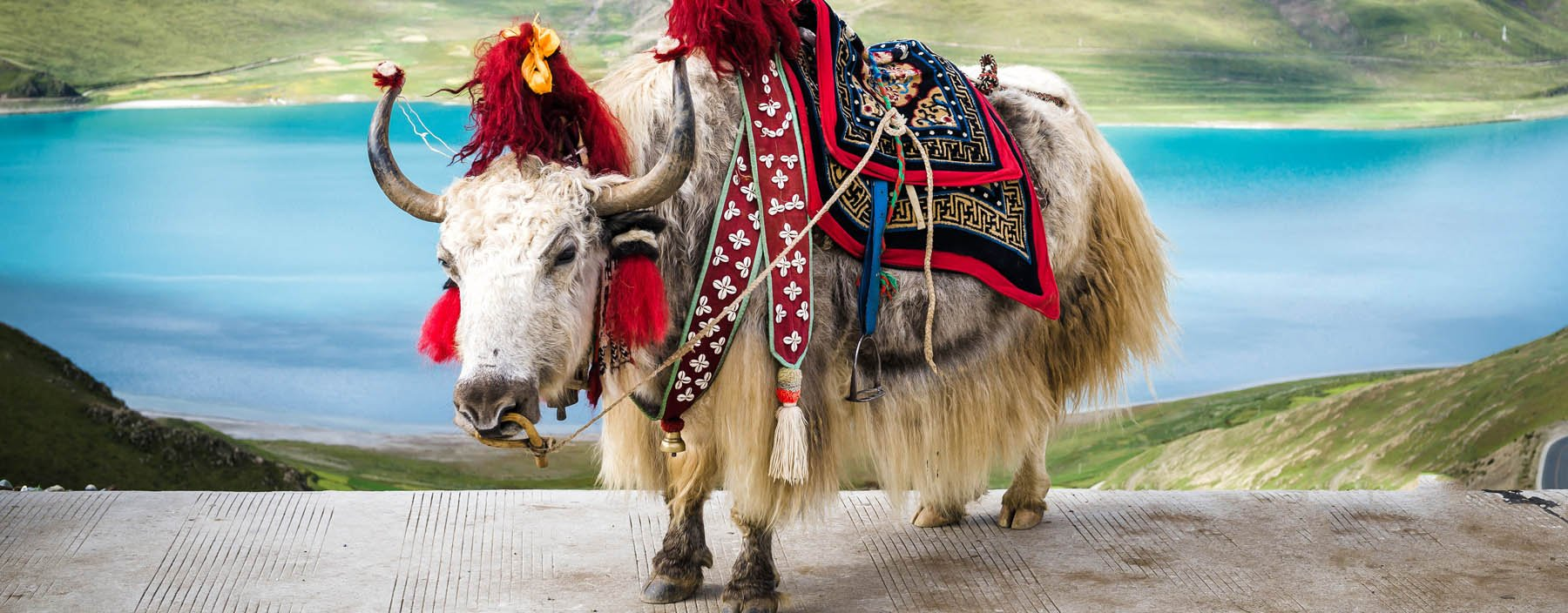 cn, tibet, decorated white tibetan yak at the yamdrok lake in tibet  (2).jpg