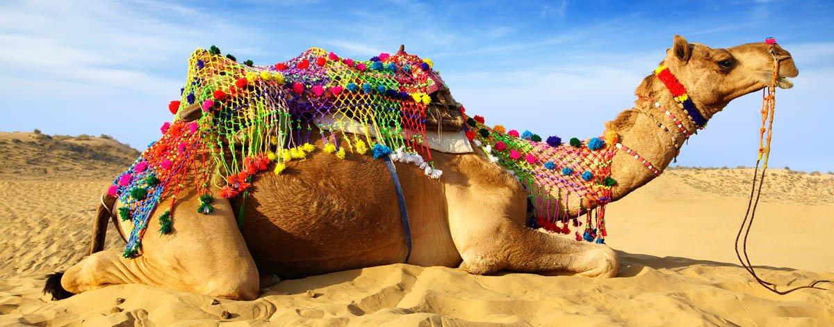 in, bikaner, camel.jpg
