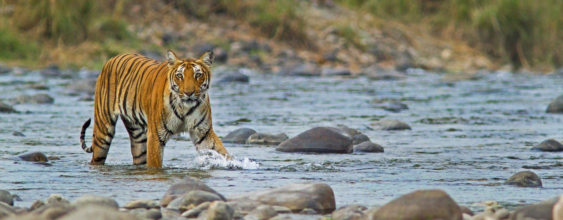 in, corbett, tijger.jpg
