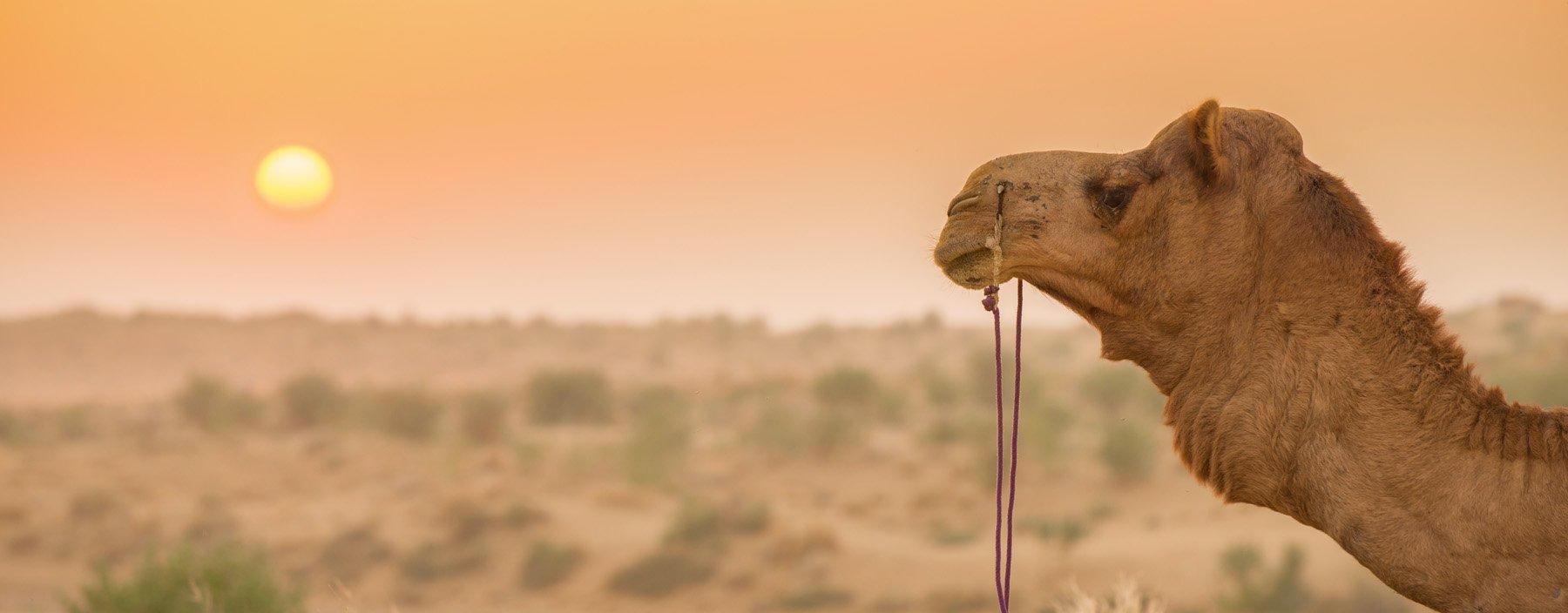 in, jaisalmer, kameel.jpg