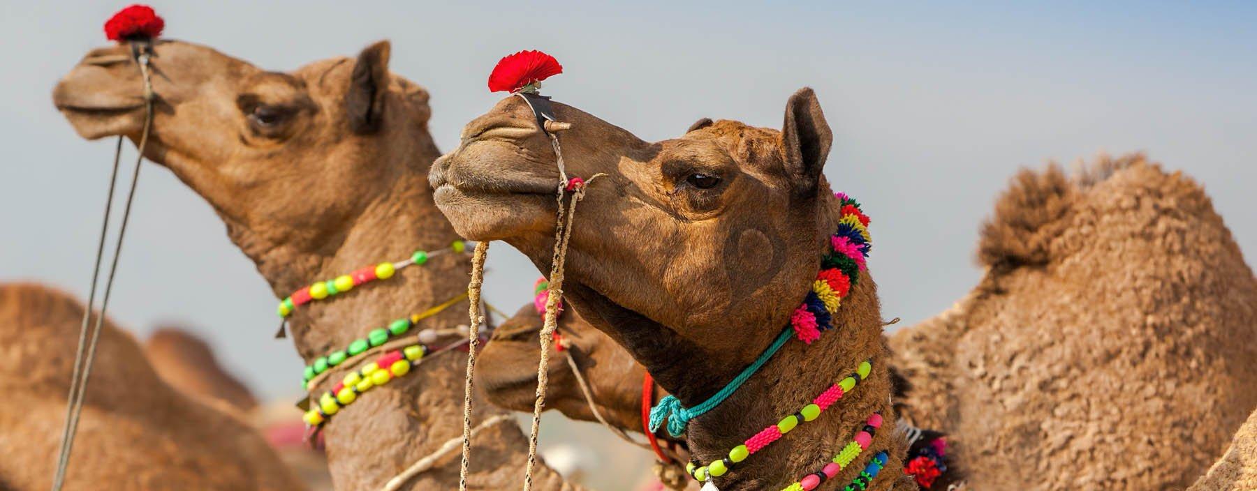in, pushkar, camels at the pushkar fair.jpg