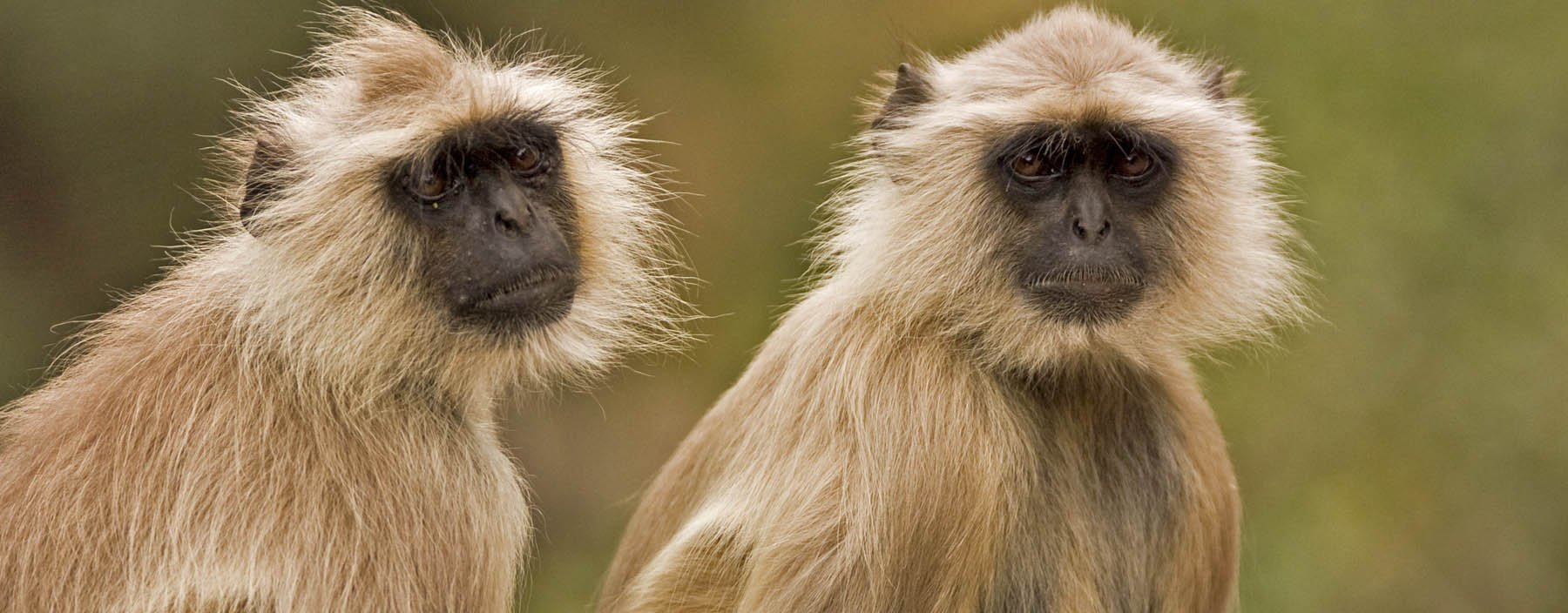 in, ranthambore, two langurs.jpg