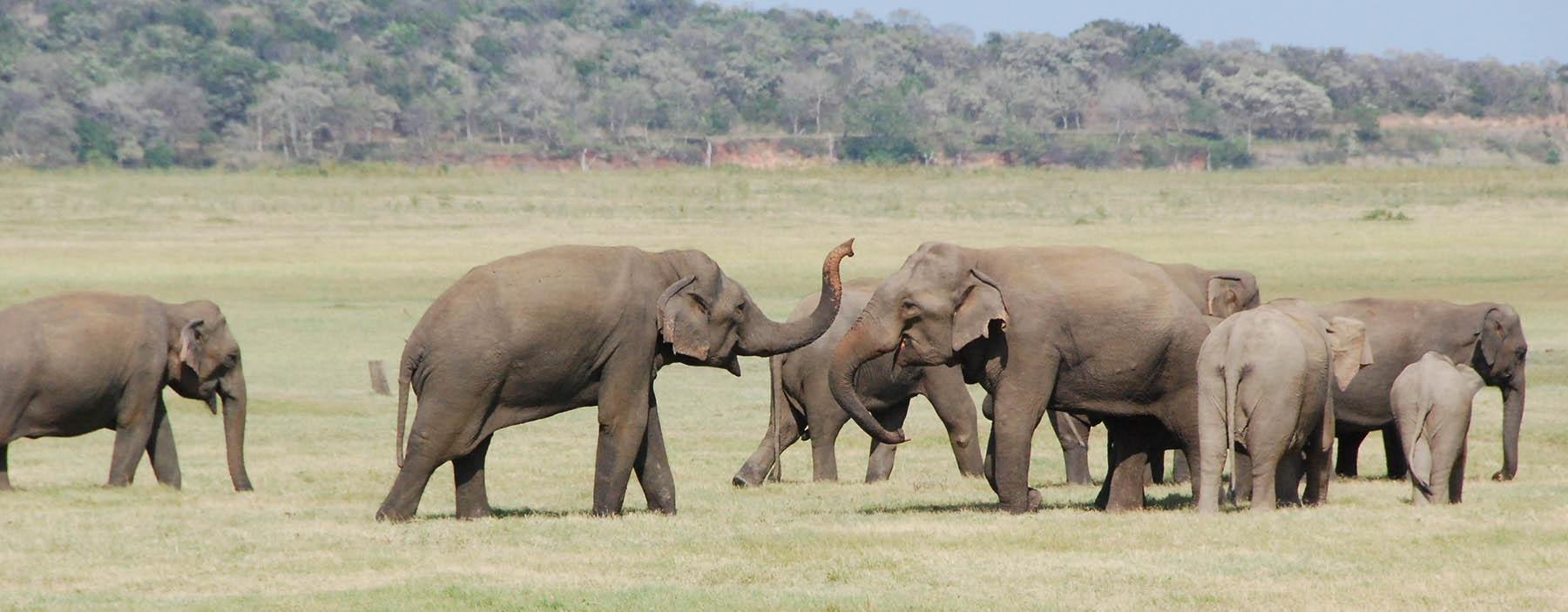 LK, Sri Lanka, Minneriya en Kaudulla National Park